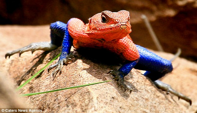real lizard